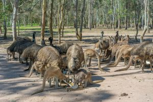Dozens of Kangaroos and Emus at Fraser Coast Wildlife Sanctuary near Hervey Bay