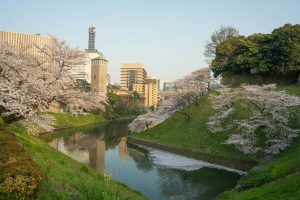 Cherry Blossoms in Chiyoda in Tokyo