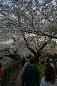 More Cherry Blossoms in Tokyo